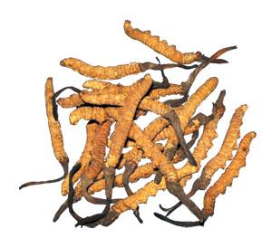 Cordyceps sinensis